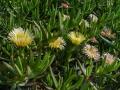 Gelbe Mittagsblume