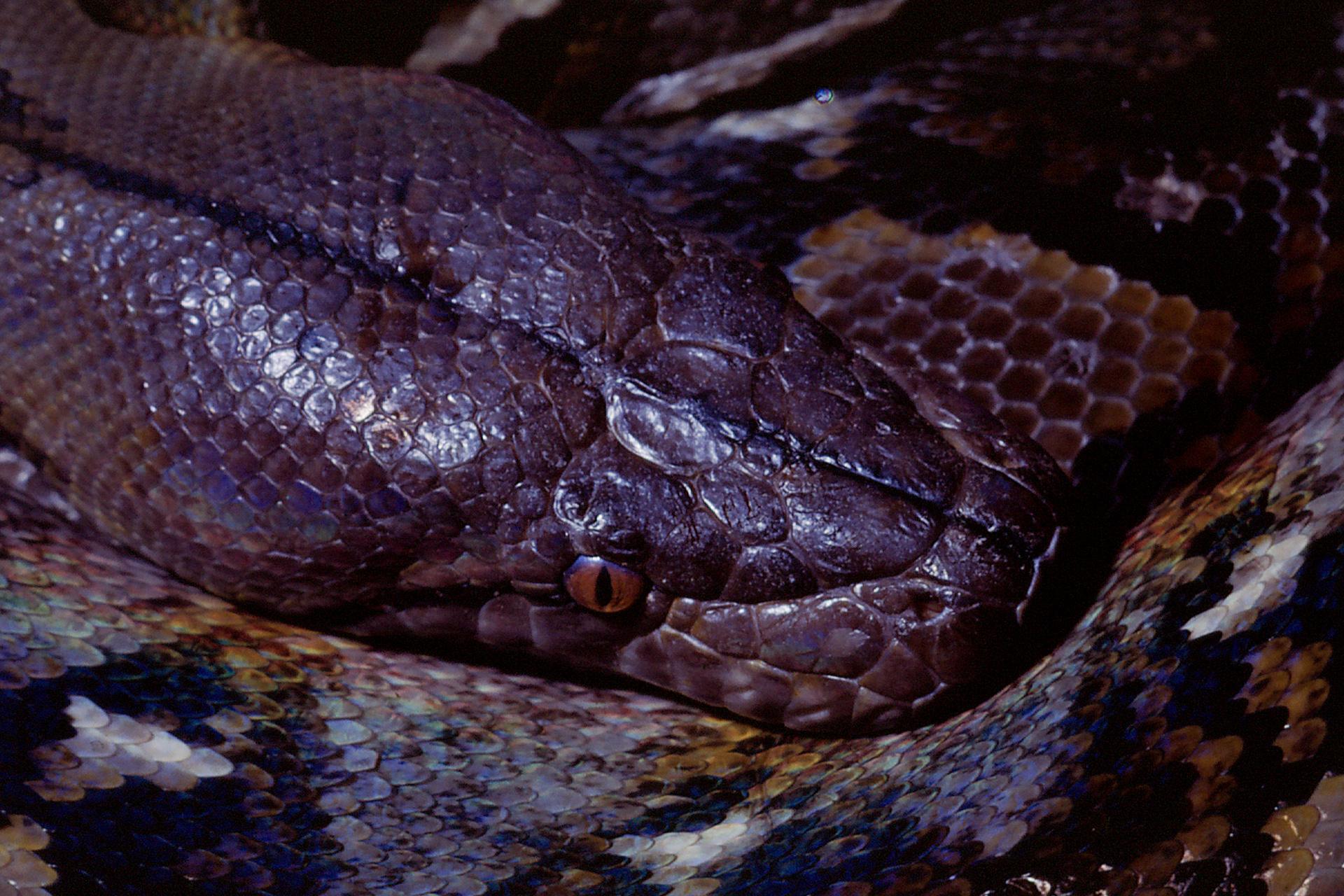 1970 Python reticulatus, asiatische Netzpython (Diapositiv)