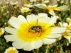 Kronen-Wucherblume